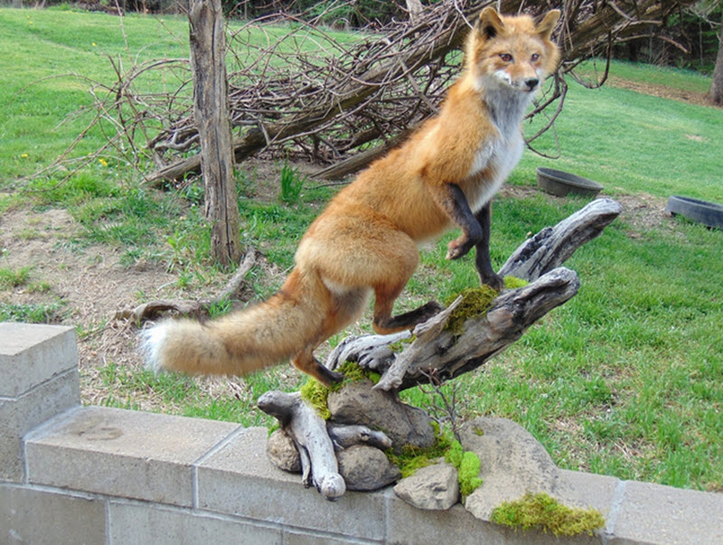 taxiderny fox